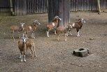 V ZOO jsou k vidění také mufloni.