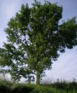 Významné stromy v Chuchli