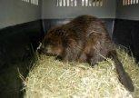 Zachráněný bobr